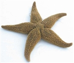 Starfish Preserved Specimen - Dissection