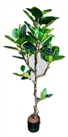 Ficus Plant in Black Pot
