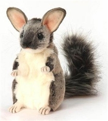 Hansa Chauncey Chinchilla