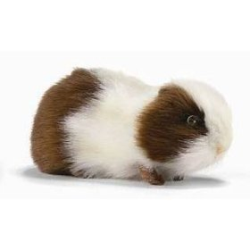 Hansa Brown and White Guinea Pig