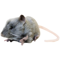 Hansa Gray Mouse