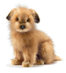 Hansa Norfolk Terrier