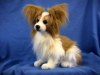 "Hansa Papillon Dog 15"" H"
